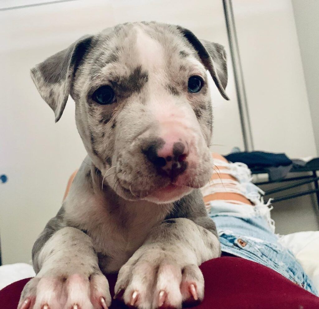 Red nose Pitbull puppies for sale