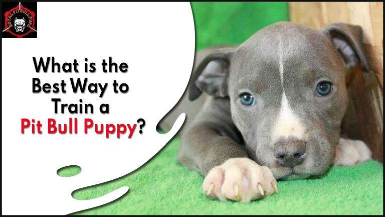 What is the Best Way to Train a Pit Bull Puppy