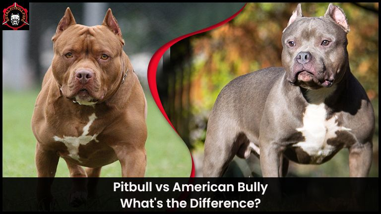 Pitbull vs. American Bully: What's the Difference?